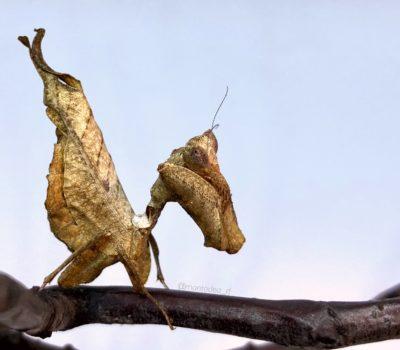 Acanthops falcata