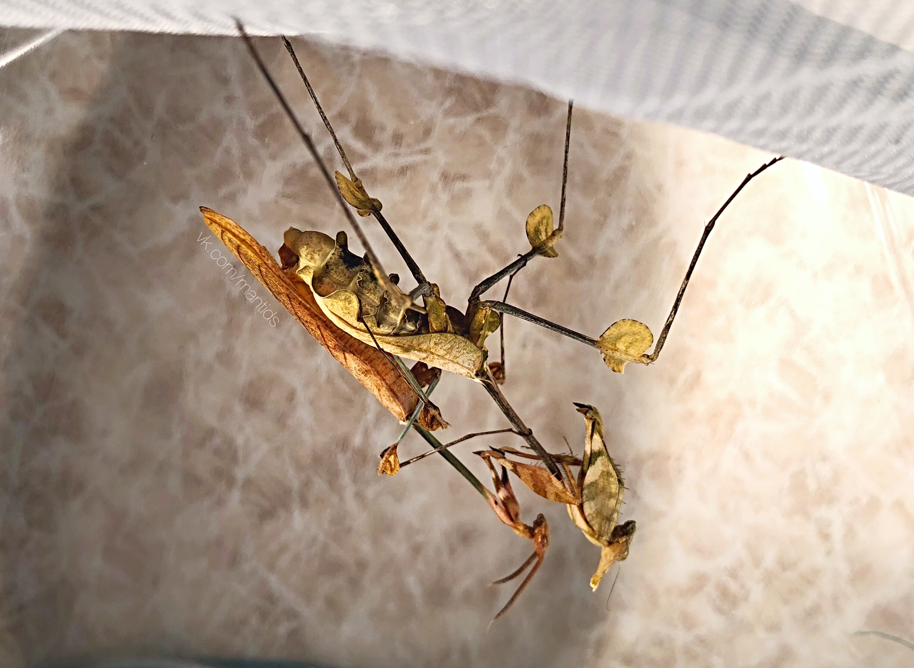 https://prayingmantis.ru/wp-content/uploads/2018/10/Gongylus-gongylodes-mating-main.jpg