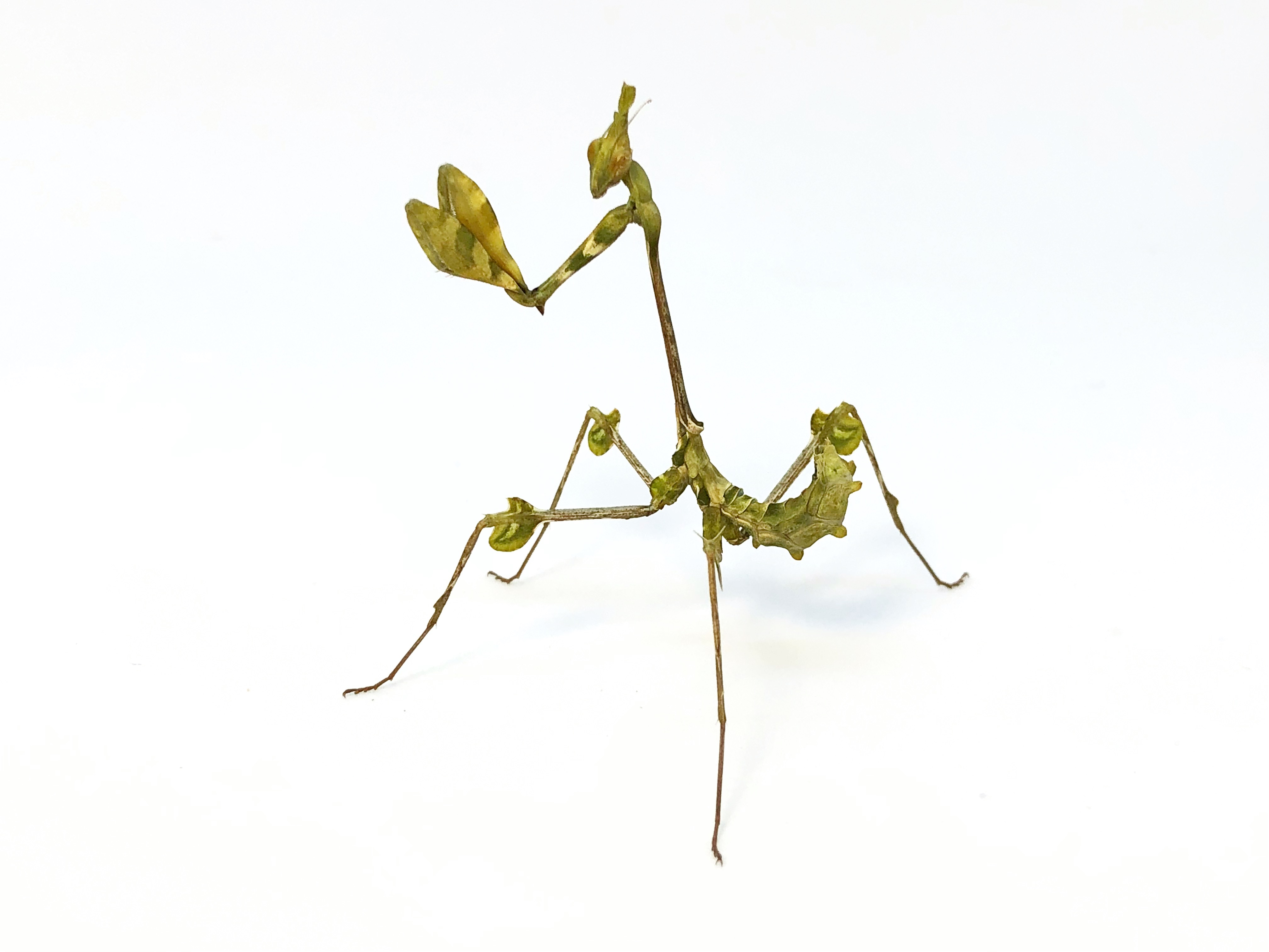 https://prayingmantis.ru/wp-content/uploads/2018/10/Gongylus-gongylodes-presubadult-female-2.jpg