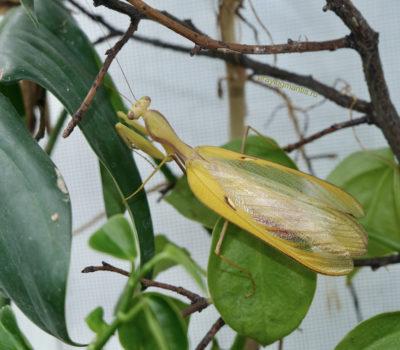 Sphodromantis sp. Cameroon